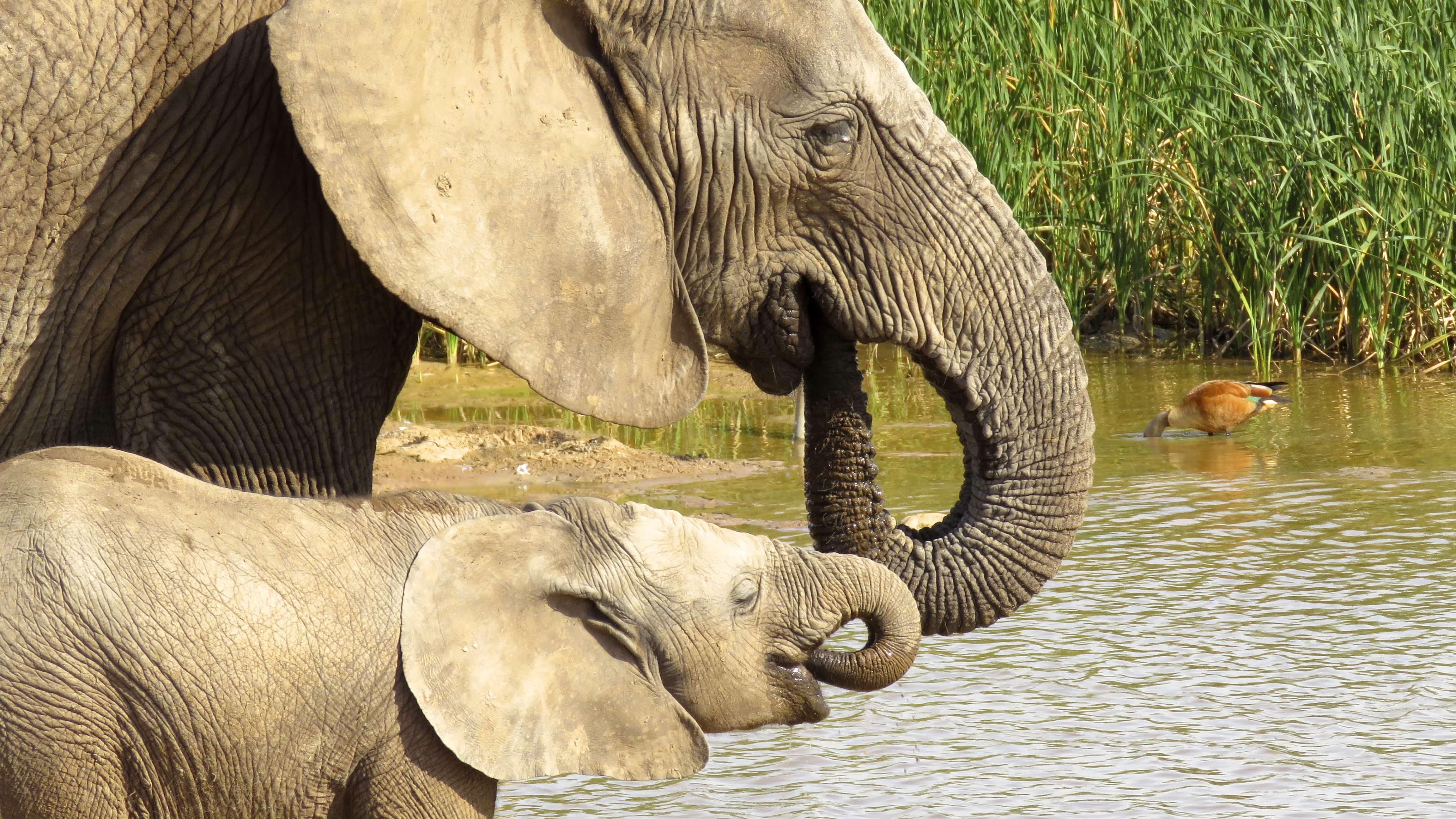 addo elephant parkにいる象の親子