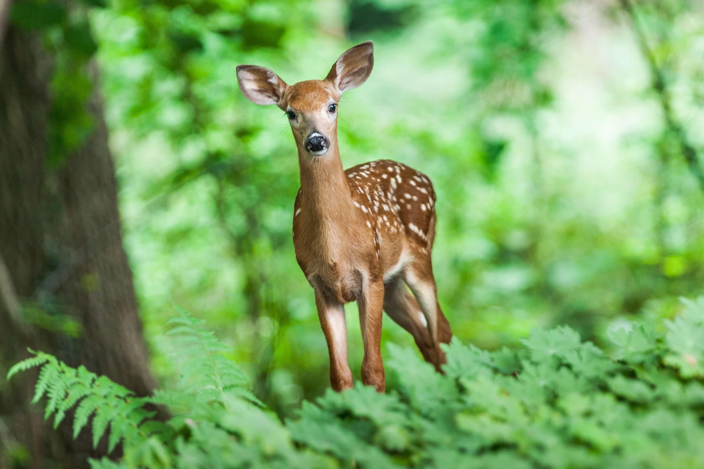 森のなかの鹿