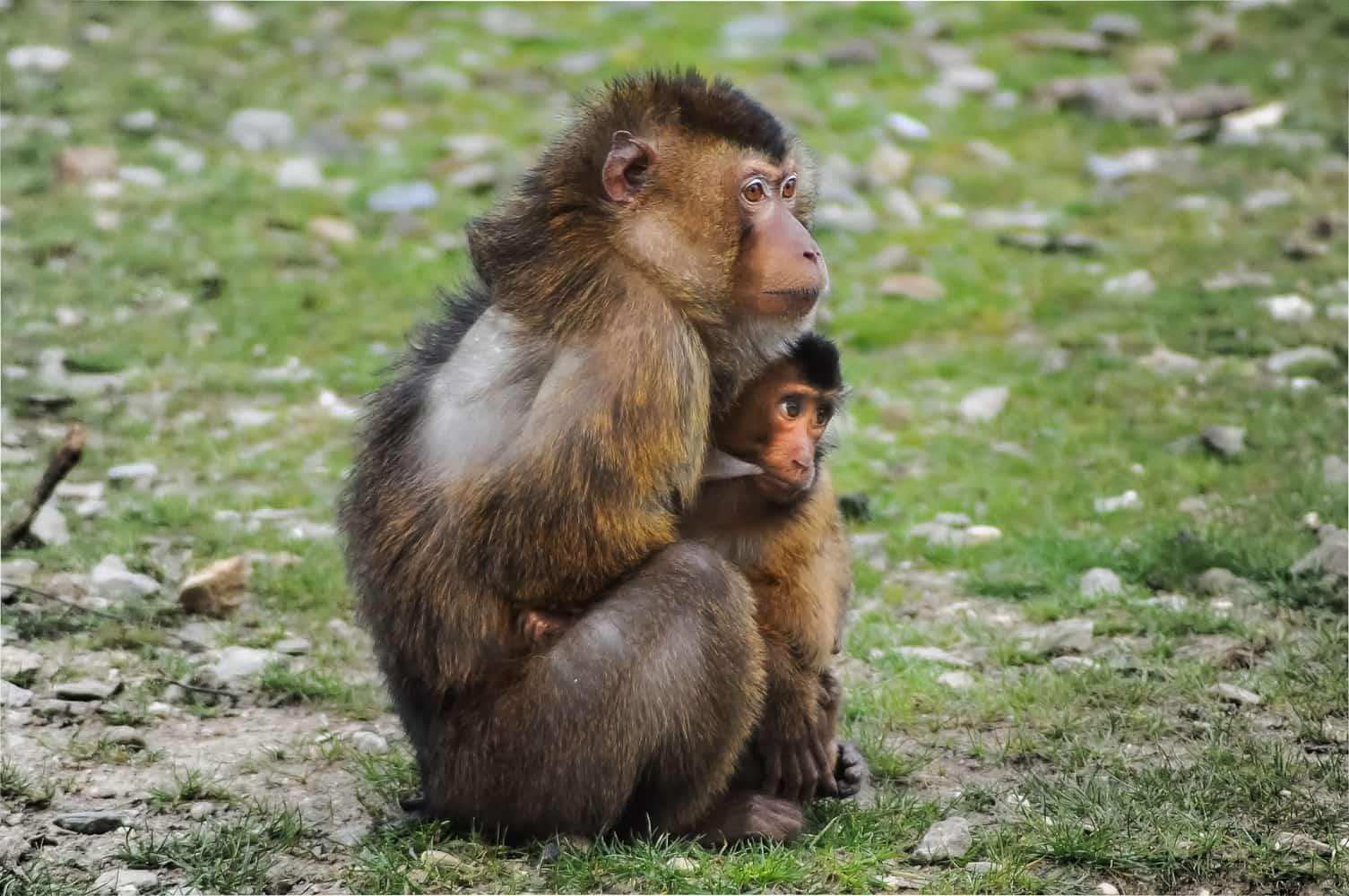 こどもを護っている猿