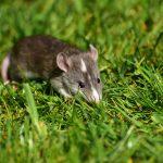 人生で初めて、ネズミと目が合った