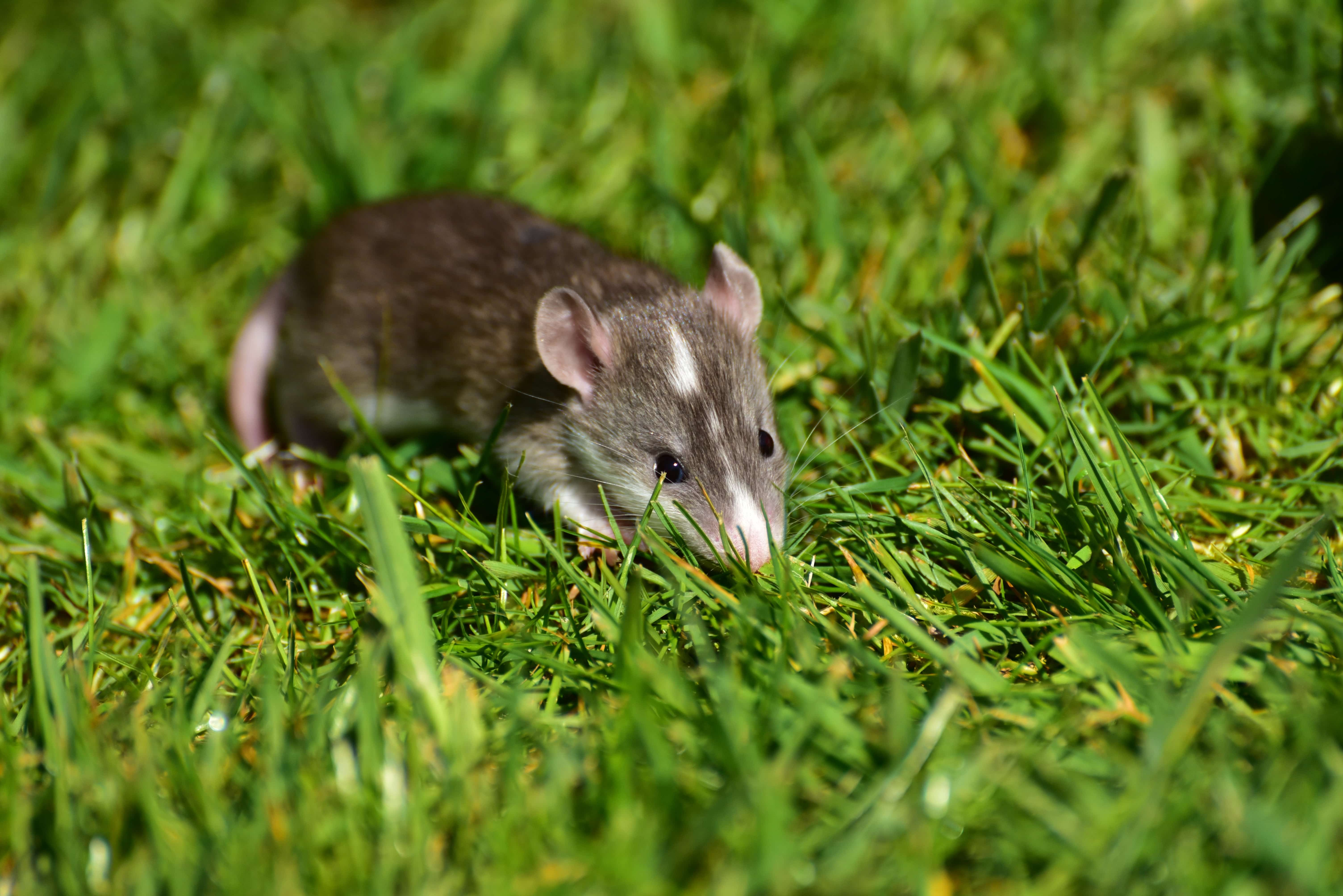草原のなかのネズミ