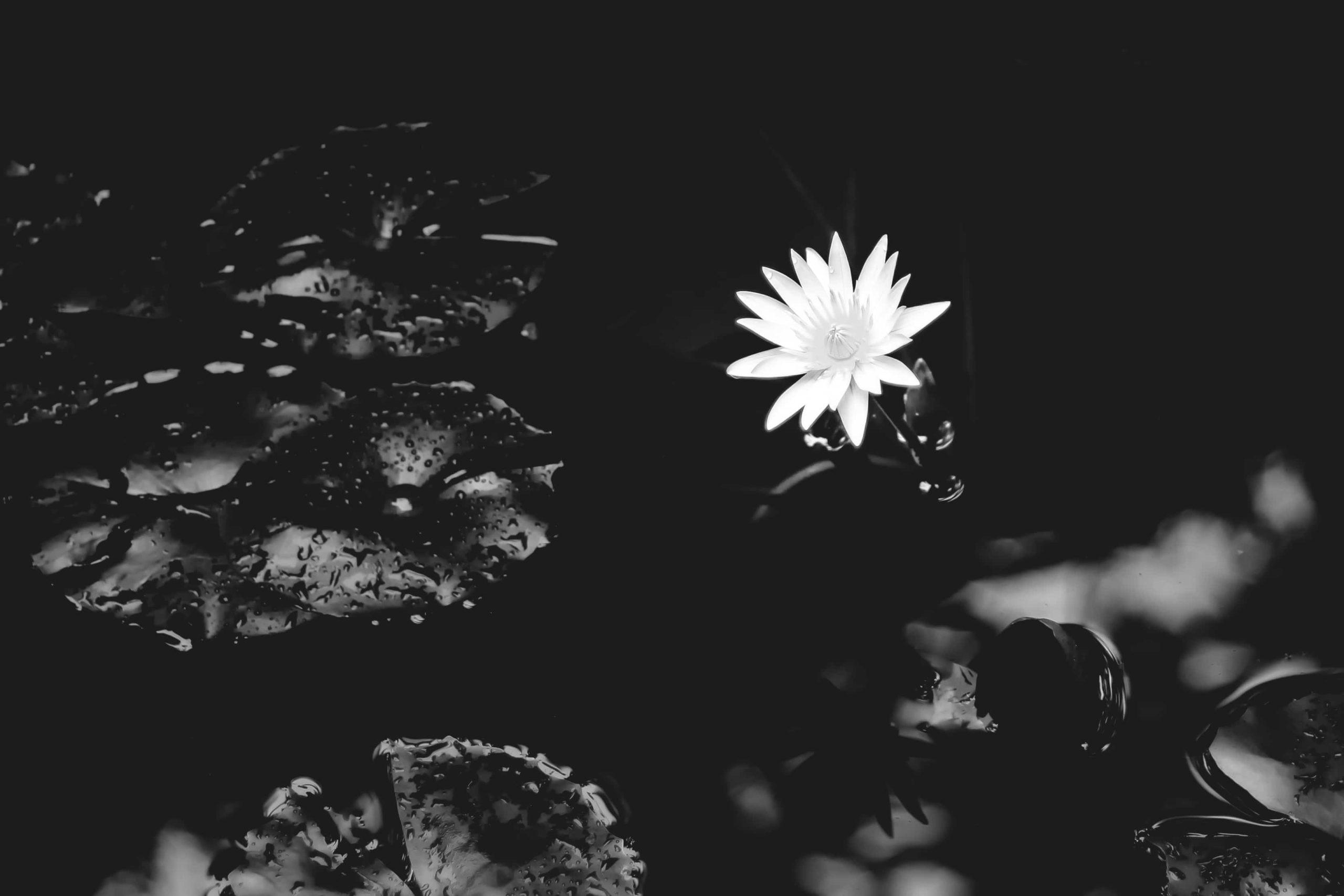 漆黒の世界に咲く1輪の睡蓮