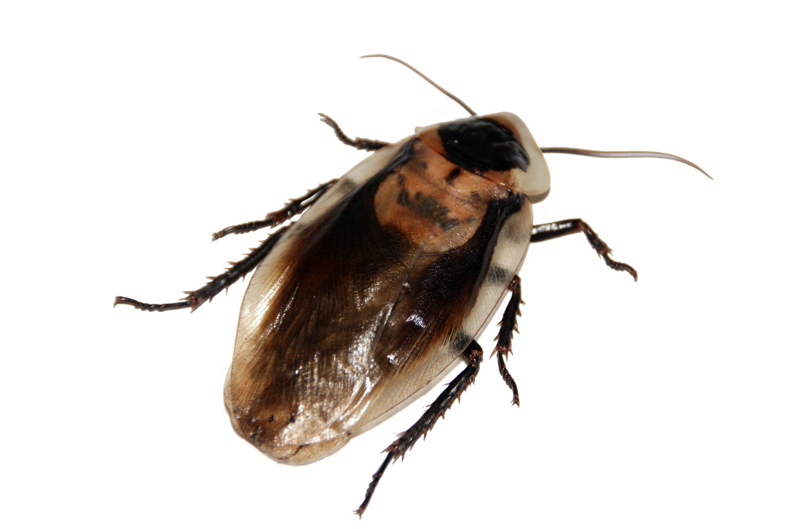 1匹のゴキブリ