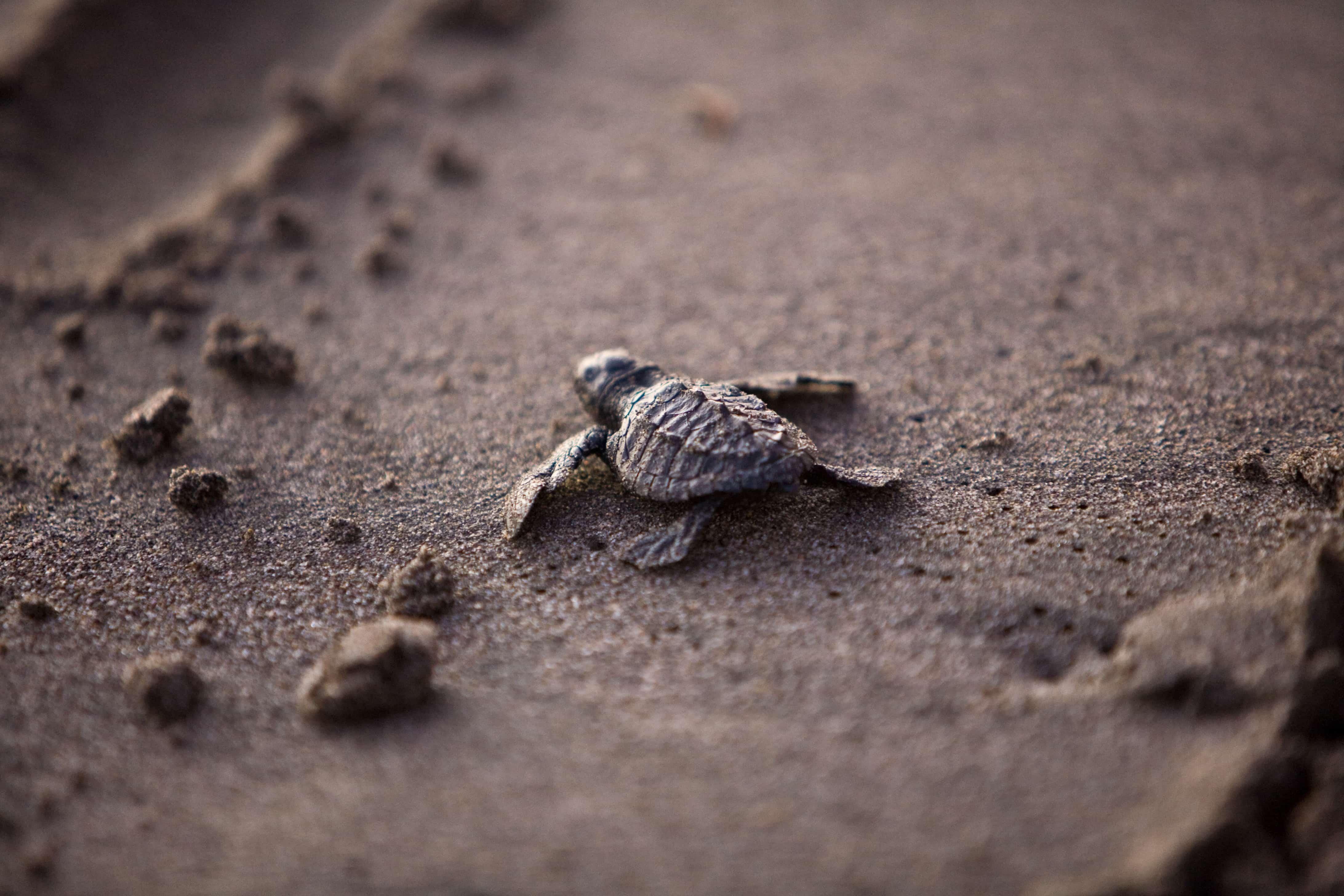浜辺のちいさなちいさな海亀