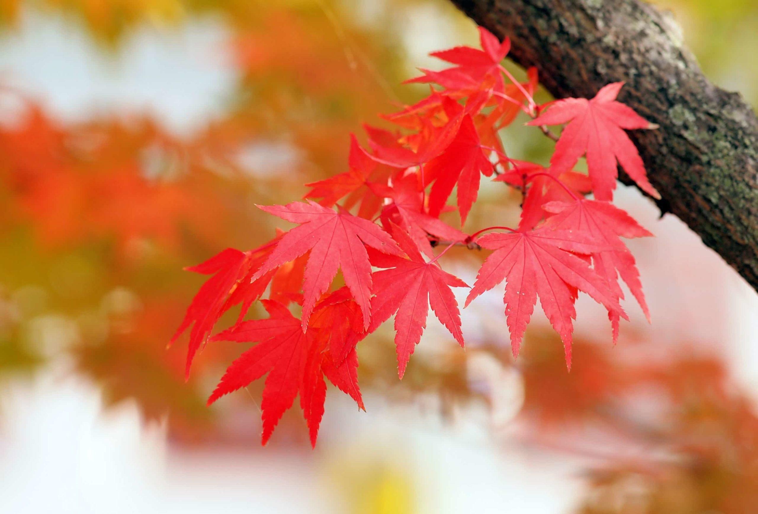 美しい赤に色づく楓の葉