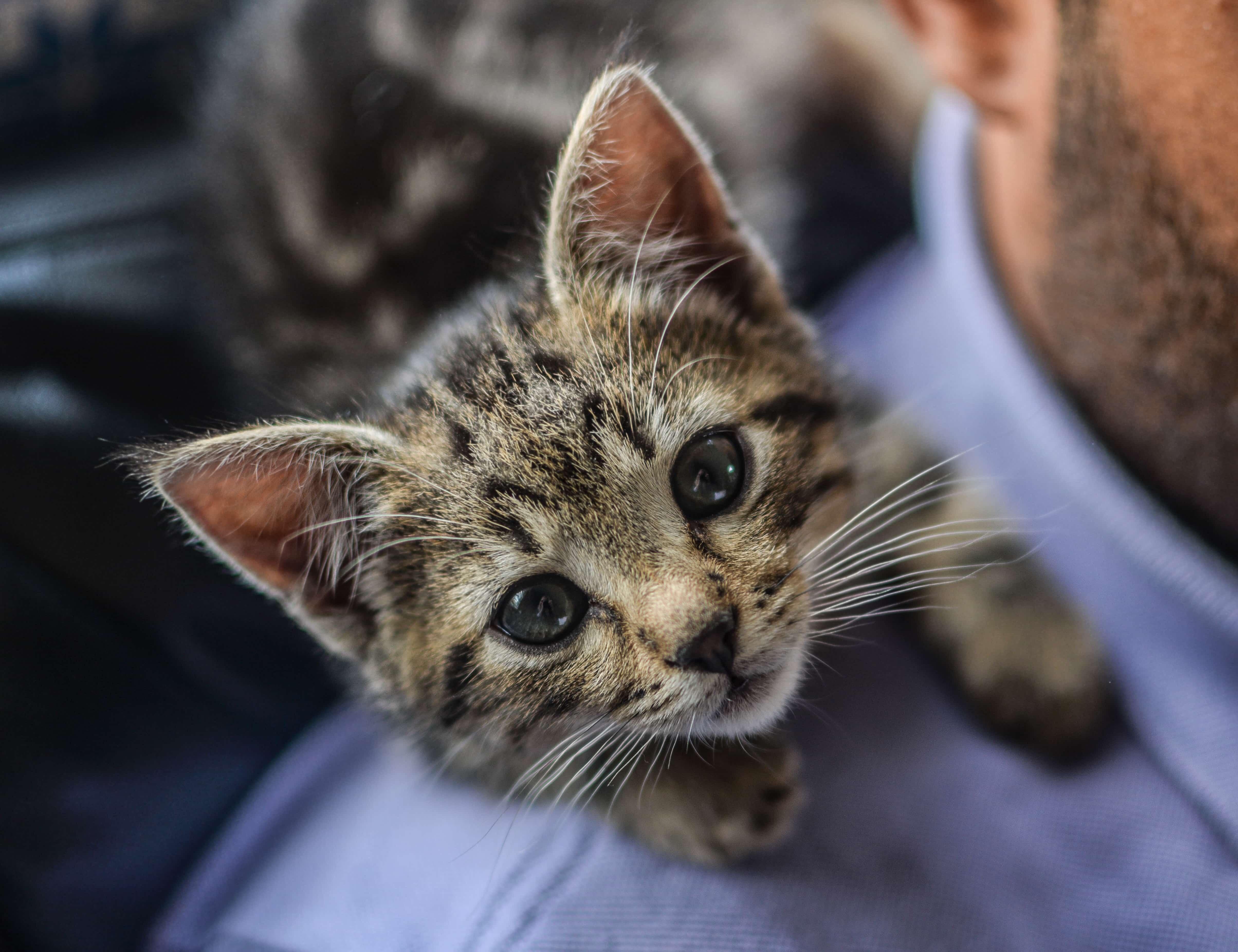 肩に乗るかわいい子猫
